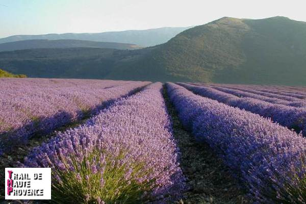 La lavande de Haute Provence