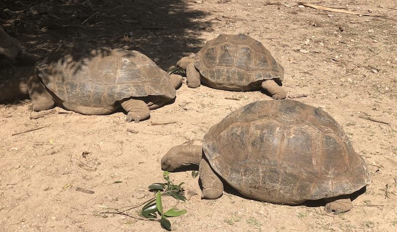 Ile de Rodrigues - reserve aux tortues - Fred Bousseau